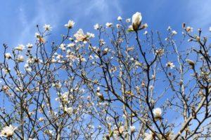 Magnolia w koronie